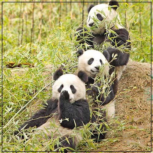 Animales entre bambú