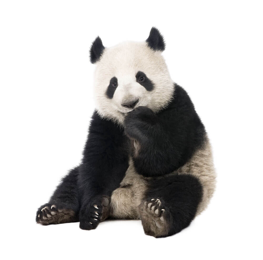 Bamigo panda